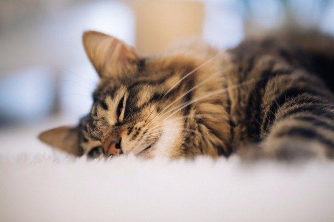 昼寝の効果_猫